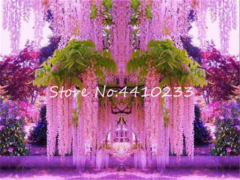 10 Pcs Japanese Purple Wisteria Fresh Bonsais Tree Amazing Climber Perennial Indoor Ornamental Plants For Home Garden