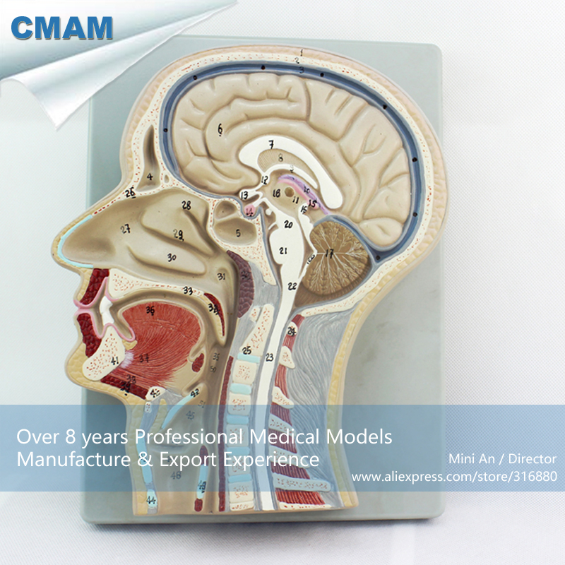 12399 CMAM-BRAIN02 Human Section Head Brain Anatomy Model,  Medical Science Educational Teaching Anatomical Models cmam viscera01 human anatomy stomach associated of the upper abdomen model in 6 parts