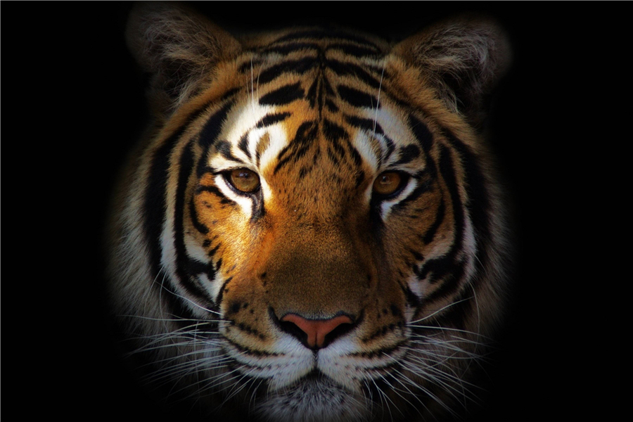 Custom Canvas Art Big Tiger Poster Cool Tiger Wallpaper Animal Wall