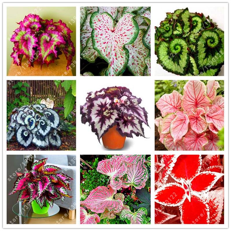 24 colors 100PCS Beautiful Begonia flower seeds flowers potted bonsai garden courtyard balcony Coleus seeds