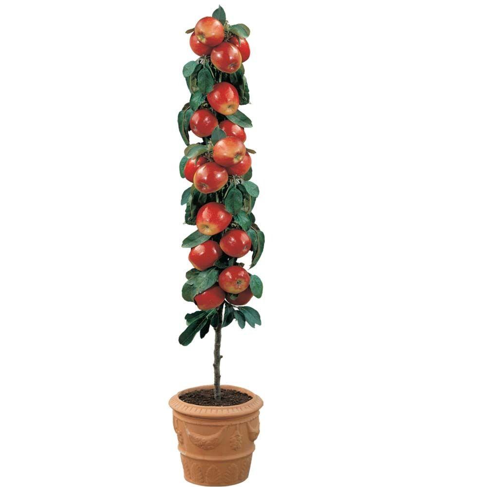 30 stk Paradis æble dværg træer, miniature æbletræer, dværg træer frugt træ Indendørs eller udendørs indendørs planter til ...