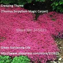 20 шт. розовый ароматный тимьяна ползучего семена ( Serpyllum ковер ) легко расти двор растения