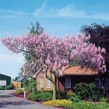 50 Best Paulownia Seeds empress tree Romantic Flower Great Aroma fast growing Bonsai Tree