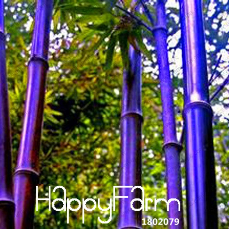 Venda quente! roxo Raro Sementes De Bambu Bambusa bambu preto sementes plantadas em Timor pátio Yi 100 Sementes/Pack, # FTTTLE