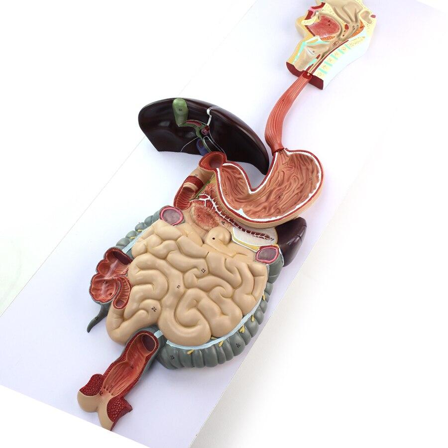 Enovo Medical Human Digestive System Model Of Gastric Liver