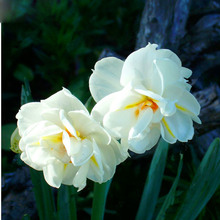 100pcs flower daffodil,daffodil seeds(not daffodil bulbs)bonsai flower seeds aquatic plants double petals Narcissus garden plant