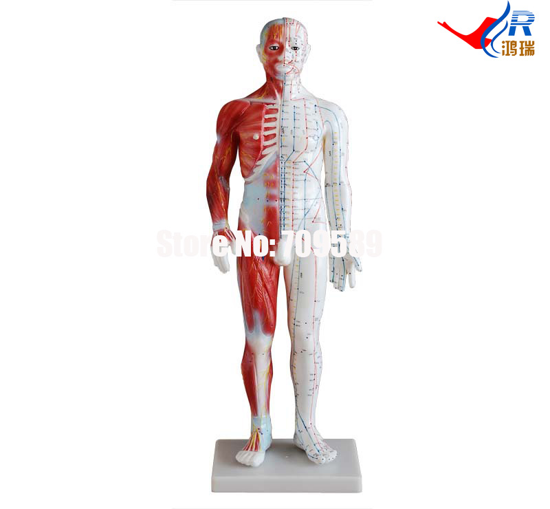 Acupuncture & Muscle Model 60CM Male, Acupuncture model pig acupuncture model animal acupuncture model
