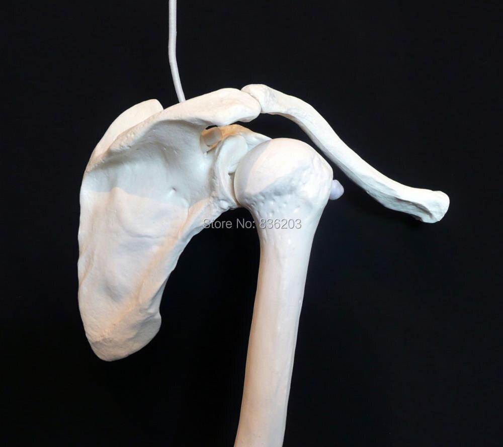 Menschlicher schädel anatomie Skelett Arm modell Hand Schulter ...