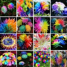 Free Shipping 100 Rainbow Chrysanthemum Flower Seeds rare color new arrival DIY Home Garden flower plant