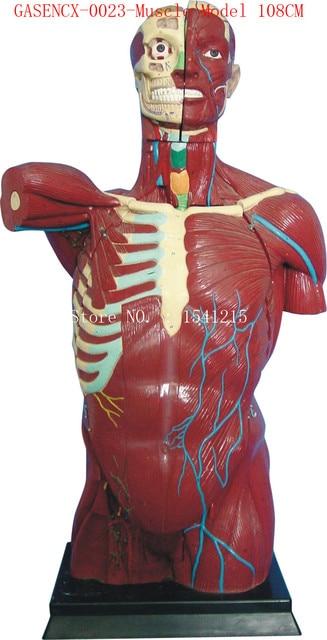 Menschlichen anatomie torso modell Lehre Medizinische Muskelmodell ...