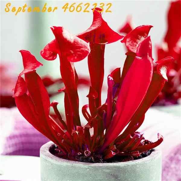 100 Pcs Captura de Insetos Plantas Carnívoras Bonsai Suculenta Planta Carnívora Feiticeira Gigante Clipe Dionéia Planta