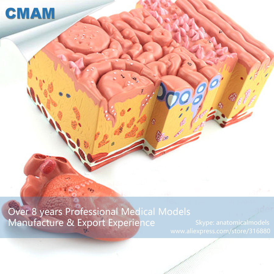 12532 CMAM-TONGUE01 Medical Anatomy Magnified Human Tongue Model, Medical Science Educational Teaching Anatomical Models cmam viscera01 human anatomy stomach associated of the upper abdomen model in 6 parts