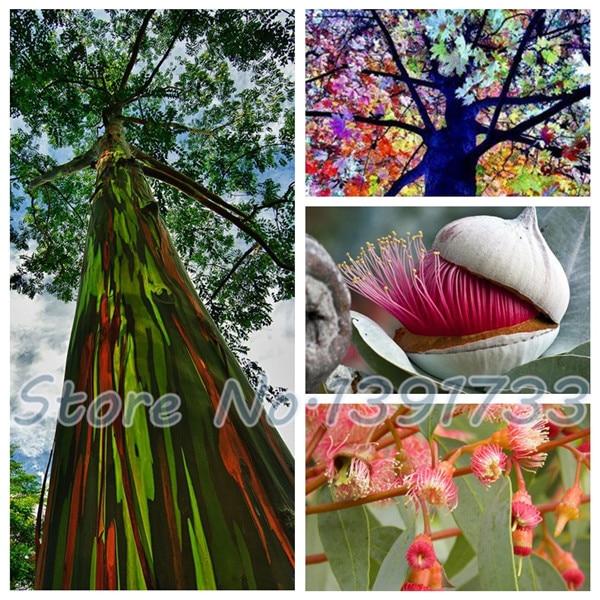 200 Rainbow Eucalyptus Tree Seed Colourful Herb Courtyard Woody Plants Free Shipping