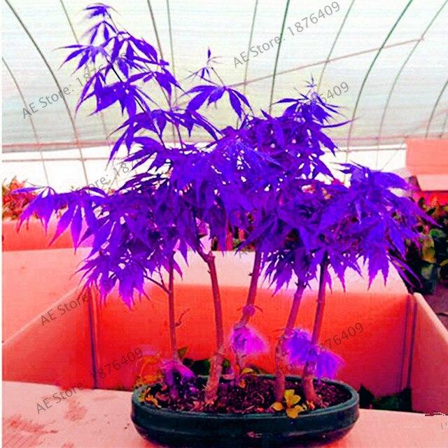 Purple Ghost Maple Bonsai Tree Flores Acer Palmatum Atropurpureum