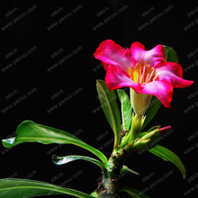 Desert Rose flower seeds in bulk,Apocynaceae Adenium obesum seeds,100% is truly rare and expensive species,1 pcs/bag