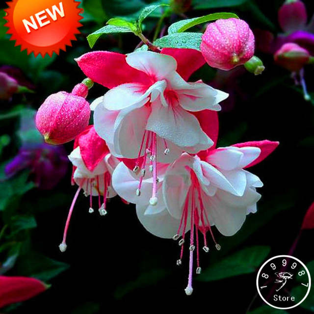 Online Shop New Fresh Pink Purple Bell Flowers Fuchsia Bonsai Potted