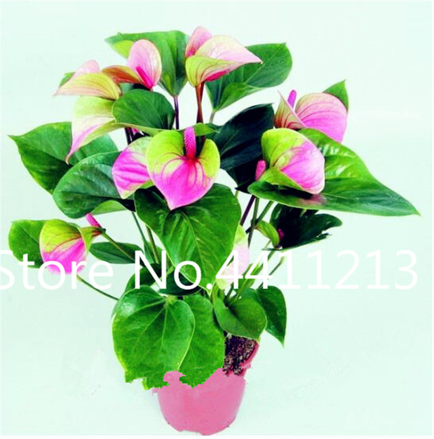 Anthurium Flower Seeds (500 Pieces)