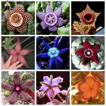 Mix Succulents Orchids Stapelia Pulchella plants Lithops Raw Stone Cactus plants Rare For Home Garden Bonsai Plants 200 Pcs