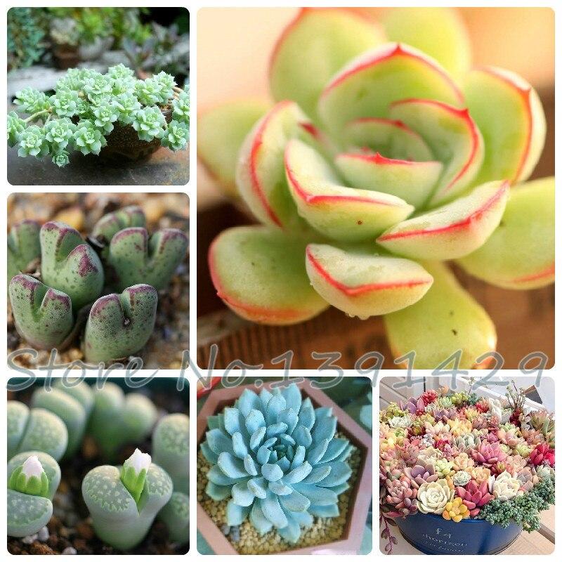lithops bonsai flores de plantas de interior planta de piedra flores semillas de semillas de cactus