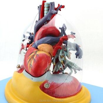 ENOVO Thoracic surgery cardiothoracic respiratory system
