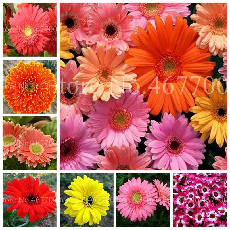 New Arrival 100 Pcs Hybrids Gerbera Daisy Perennial Flower Bonsai Plants Easy To Grow for Home Garden Pot Decor Potted Planter