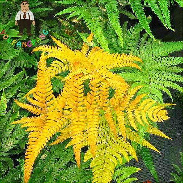 100pcs Garden Fern bonsai Rare Creeper Vines Grass plants Mixed Rainbow Foliage Planting For home garden