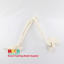 Modèle d'articulation du pied et du pied, squelette humain, tibia fibula et pelvien, enseignement médical, MJG006