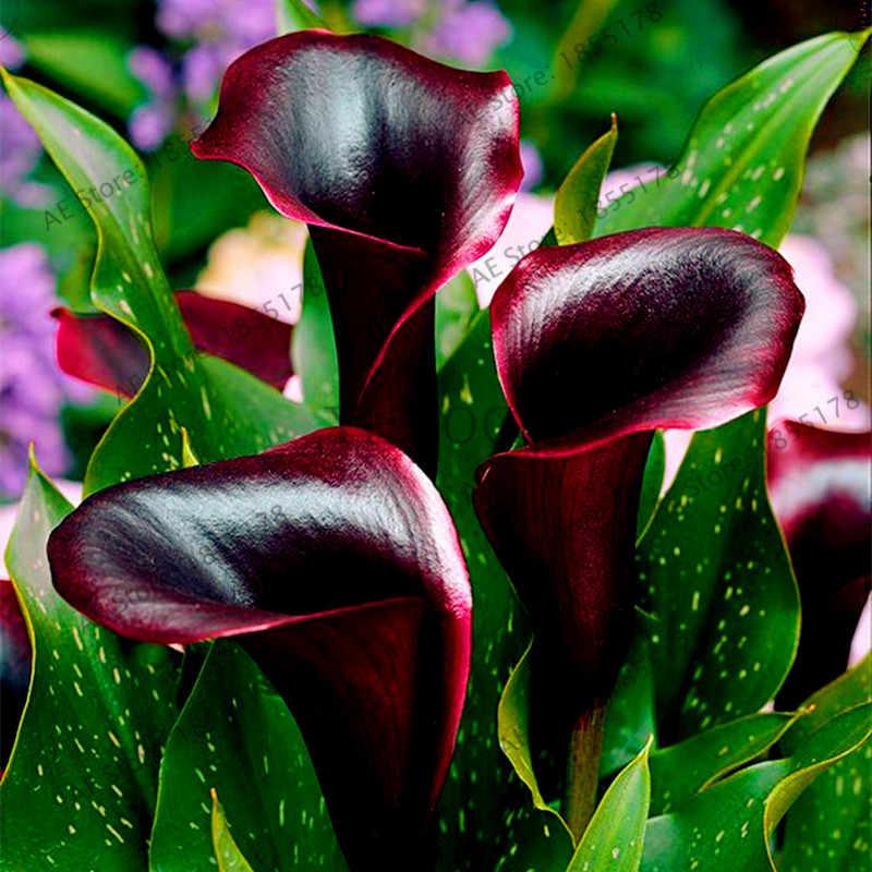 Big sale! 100 flores do lírio de Calla flor pçs/saco, perene rara planta bonsai para casa e jardim DIY, Bouquets De Casamento uso