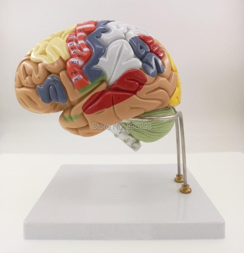 Ziemlich Anatomie Des Menschlichen Gehirns Und Seiner Funktionen ...