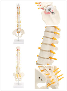 Image 2 - 45cm human spine with pelvic model Human Anatomical Anatomy  skeleton  supplies and equipment Medical spinal column models