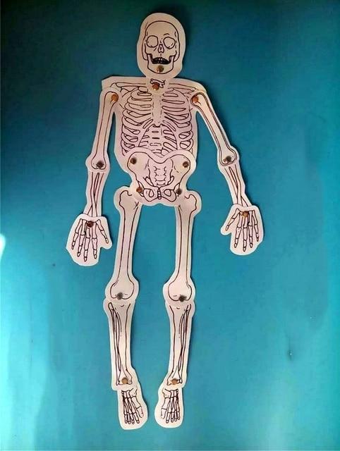 Human Skeleton Puzzle Male Skull Brain Testicular Pathology Model