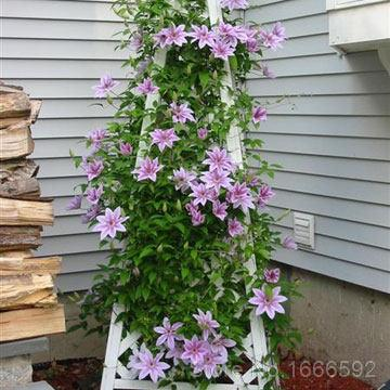 150pcs hybridas clematis seeds climbing flowers plants red pink 150pcs hybridas clematis seeds climbing flowers plants red pink white purple mixed color hot sell in bonsai from home garden on aliexpress alibaba mightylinksfo