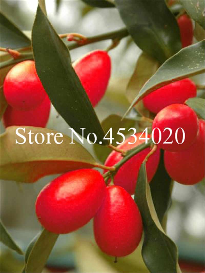 10 قطعة قزم بونساي الفاكهة الدائمة شجرة البرتقال فلوريس داخلي النبات في وعاء حديقة الديكور النبات كومكات بلانتاس اليوسفي الحمضيات