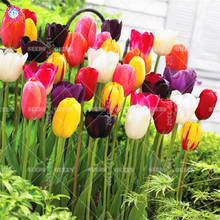 2pcs Turkey Didier's Tulip Bulbs Colorful Indoor Bonsai Flower Perennial Blooming Plants for home garden Best packaging 100%LIVE