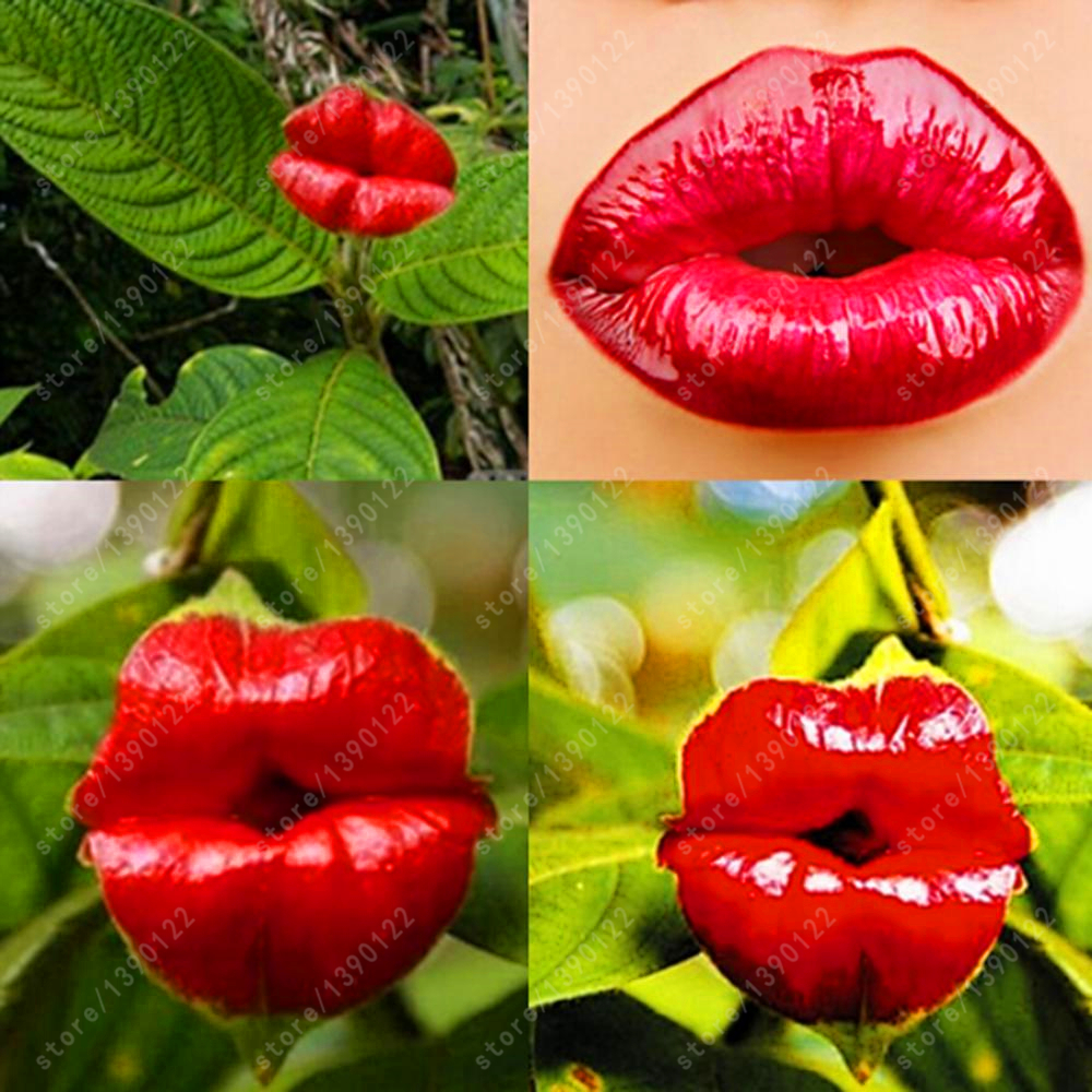 Red lips flower seeds rare flower pots garden flowers seeds100 pcs red lips flower seeds rare flower pots garden flowers seeds100 pcsbag workwithnaturefo