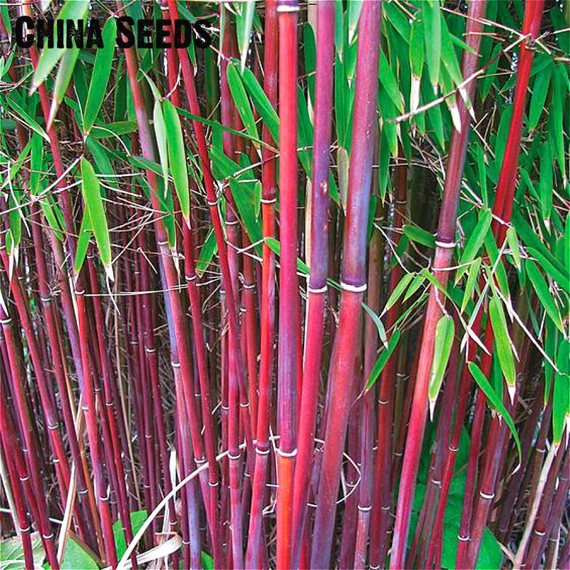 A Package 50 Pieces Seeds Fresh Giant Moso Bamboo Seeds