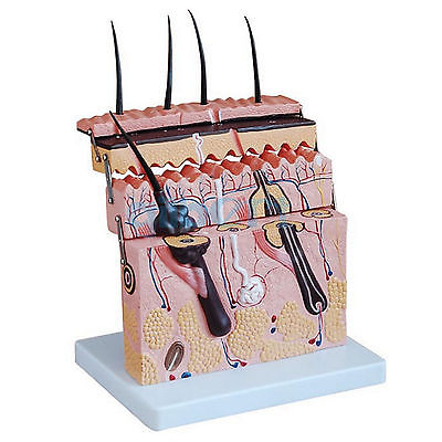 Hierarchical Structure Anatomical Human Skin Block Model Medical Dermatology 70x life size anatomical human skin block model medical dermatology anatomy