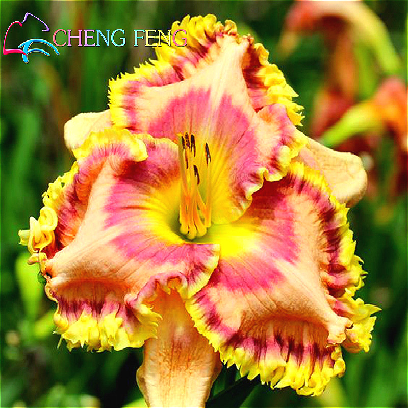 Image Result For Hemerocallis Colour