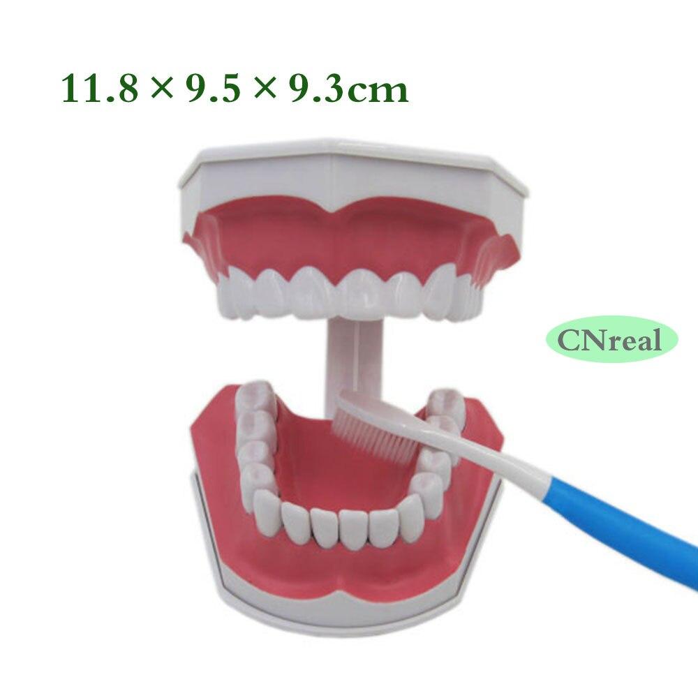 1 peça Destacável Modelo Teeth Dental + Escova de Dentes Escova de Dentes Inferiores Da Amostra com Removível 2.5 vezes o Tamanho