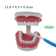 1 pc Dental Detachable Teeth Model + Toothbrush Sample with Removable Lower Teeth 2.5 times Size dental teeth model comprehensive periodontal pathological disease model for medical science study teaching communication
