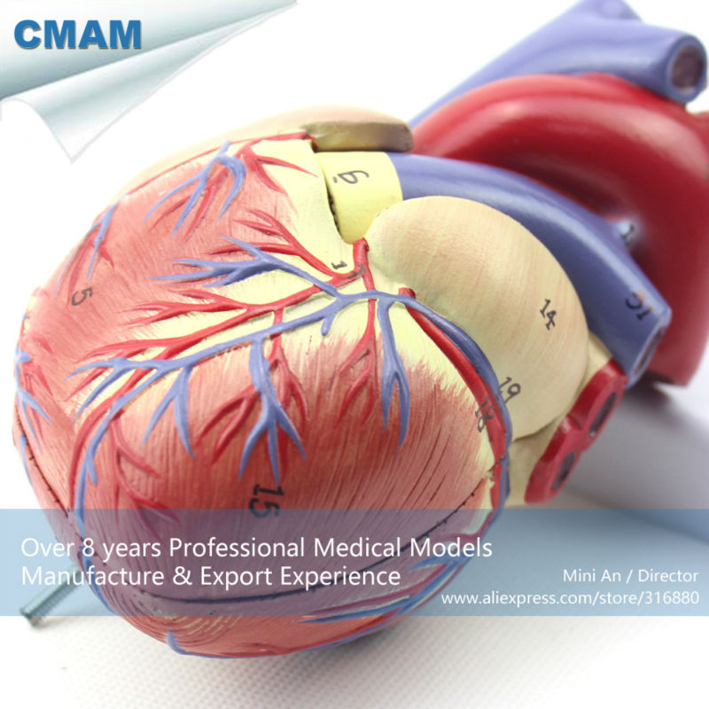12479 CMAM-HEART03 Full Life-size Human Adult Heart Anatomy Model, 2 Parts, Anatomy Models > Heart Models 12479 cmam heart03 full life size human adult heart anatomy model 2 parts anatomy models heart models