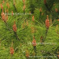 Tree plant and Pine bonsai freshly collected authentic mountain pine fir pine fir pine plant real shot 200g / Pack