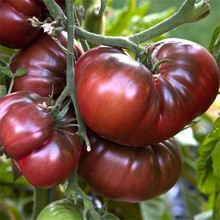 Rare Black Tomato Japanese Sweets Heirloom Bonsai Textured Flesh Large Vegetable For Home Garden DIY Potted Plant 120 PCS