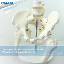 CMAM PELVIS01 Anatomical Human Pelvis Model with Lumbar Vertebrae Femur Medical font b Science b font