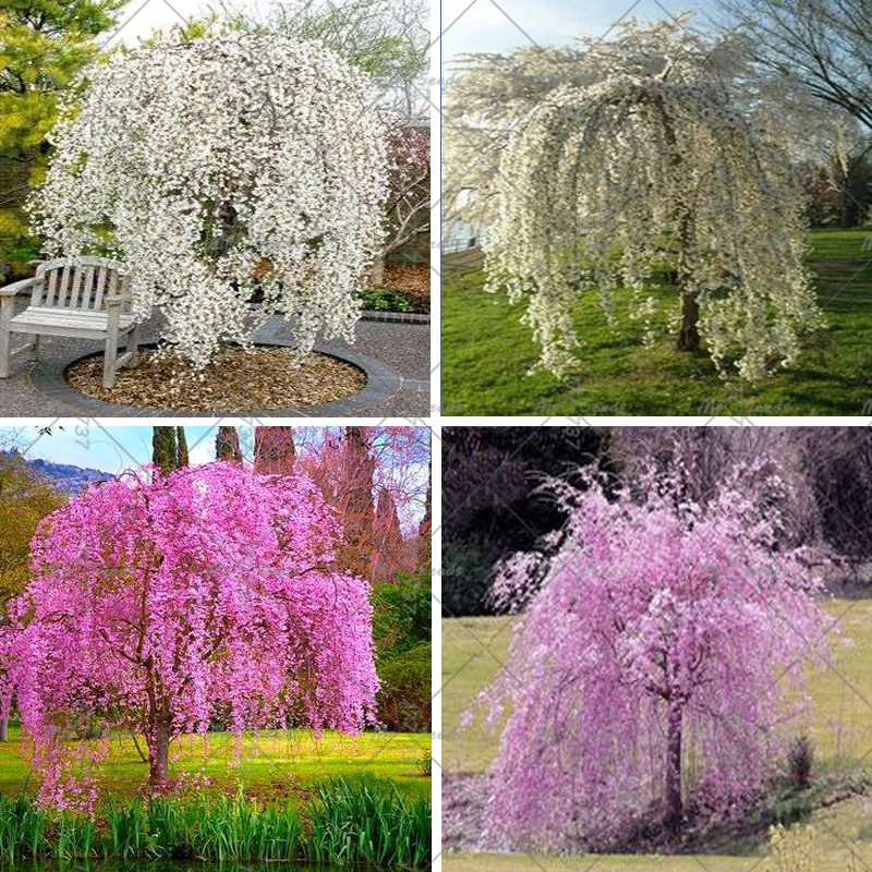 20pcs bag fountain weeping cherry tree diy family for Small ornamental weeping trees