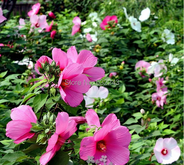 Us 099 Diy 50 Home Garden Rose Red Luna Hardy Hibiscus Moscheutos Flower Small Bush Seeds Free Shipping In Bonsai From Home Garden On