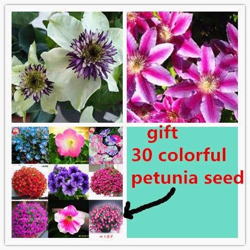 100/bag clematis hybridas Seeds + 200 rare petunia seeds as gift Flower Seeds Vines sementes for garden plant