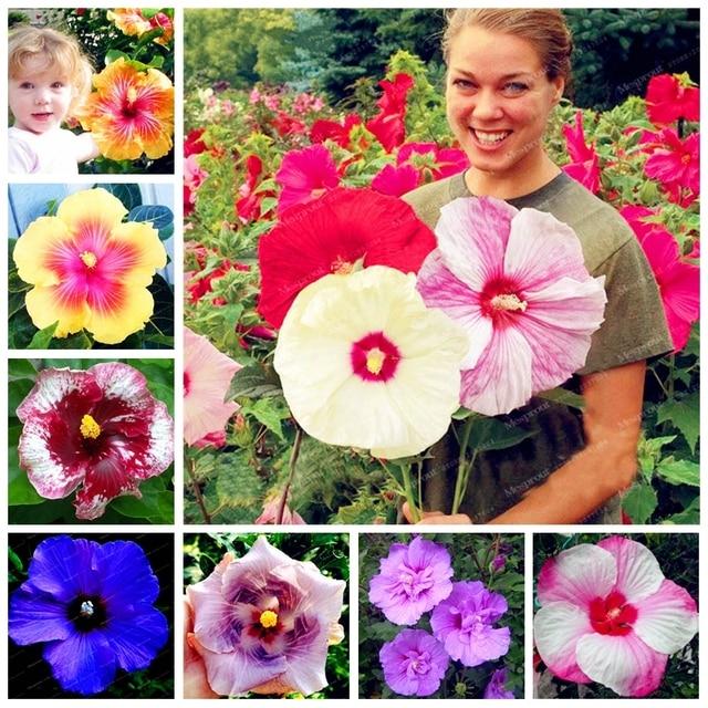 200 pz 24 colori bonsai Fiore di Ibisco Hardy, Colore Della Miscela, FAI DA TE C