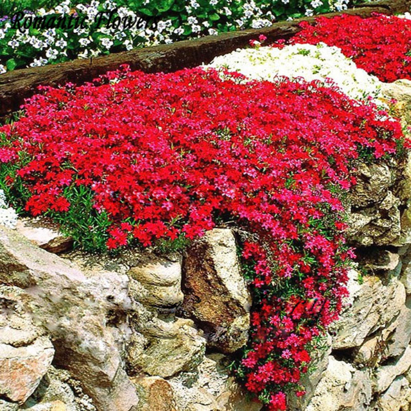 Online Buy Wholesale Red Ground Cover From China Red