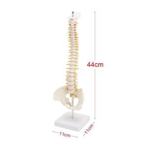 Image 4 - 골반 모델 45cm 인간의 척추 인간의 해부학 해부학 해골 용품 및 장비 의료 척추 칼럼 모델